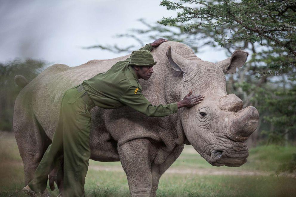 PHOTO: Mohammed Doyo, head caretaker, caresses Sudan, the last male northern white rhino left on the planet.
