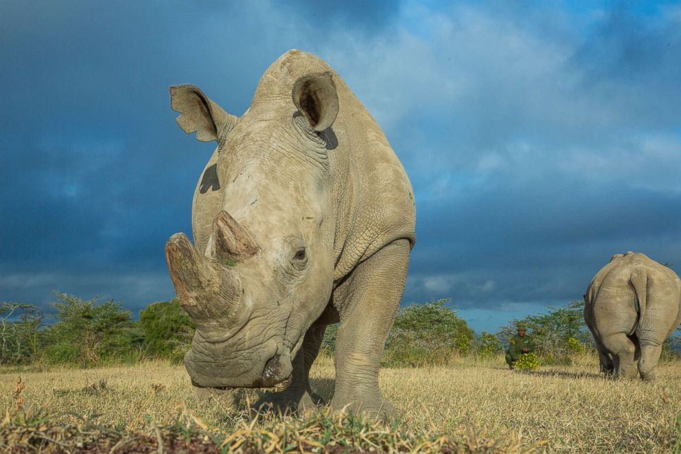 PHOTO: A 15 year old Southern White Rhino, Fatu, and 25 year old Northern White Rhino, Najin, the female White Rhinos that it is hoped Sudan a Northern White Rhinoceros will mate with at the Ol Pejeta Conservancy on June 25, 2015, Laikipia County, Kenya.