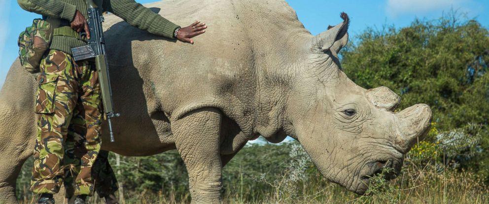 PHOTO: Sudan, a Northern White Rhinoceros is protected by armed guards John Mugo and Daniel Maina at Ol Pejeta Conservancy on June 25, 2015 at Laikipia County, Kenya.