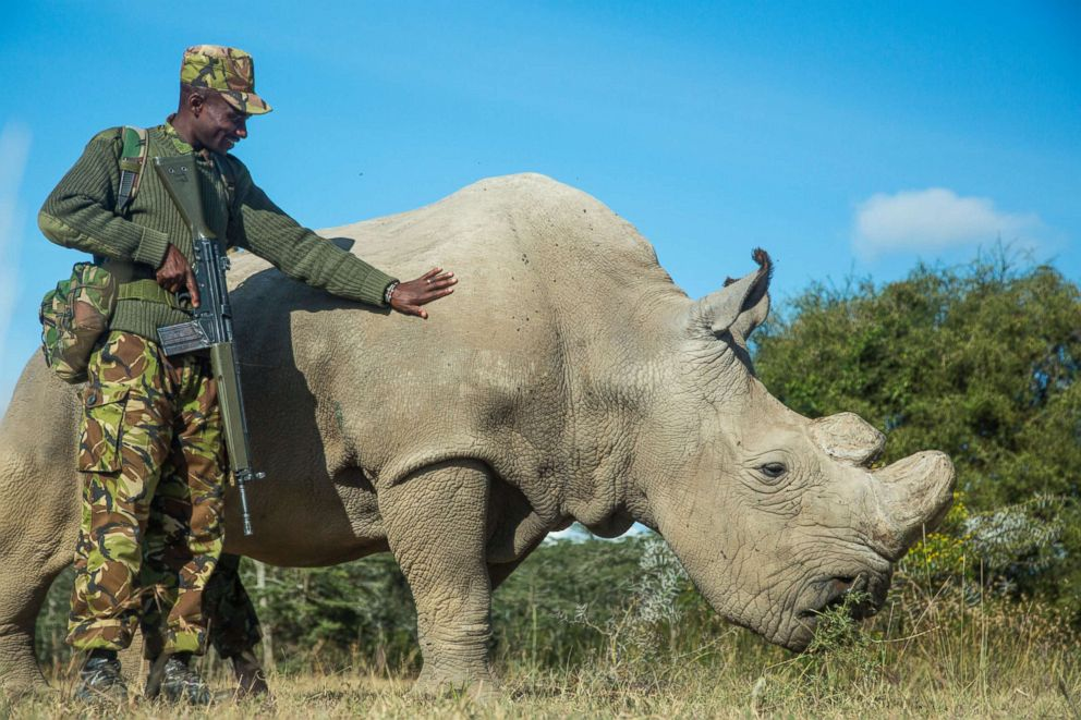 PHOTO: Sudan, a Northern White Rhino is protected by armed guards John Mugo and Daniel Maina at Ol Pejeta Conservancy on June 25, 2015, at Laikipia County, Kenya.