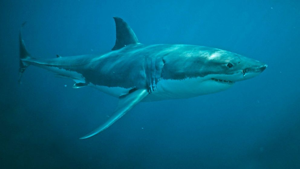 Baby white sharks can't tell difference between humans and seals: Study
