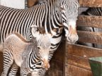 Baby zebra hangs with its mom