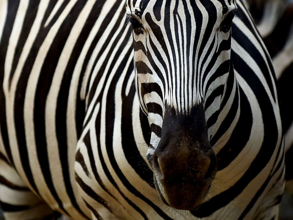 PHOTO: African zebra are pictured in their enclosure at a zoo in Dehiwala near the Sri Lankan capital, Colombo on March 3, 2016.