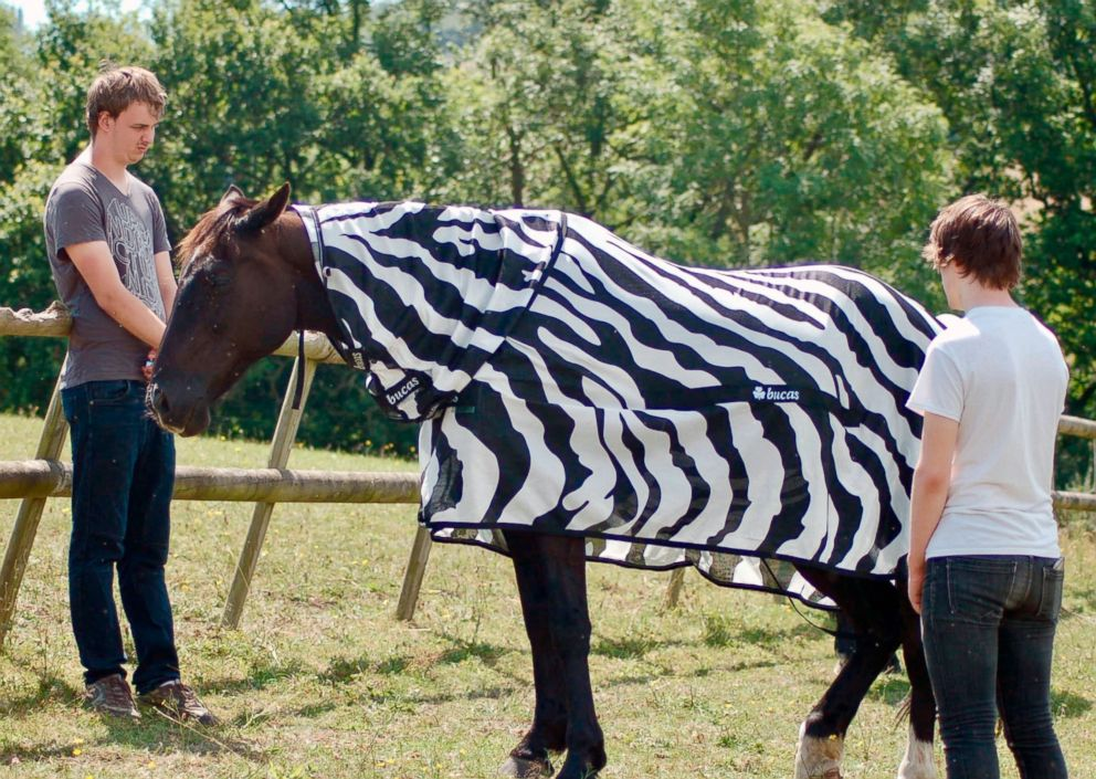 PHOTO: Scientists from the University of Bristol and the University of California at Davis dressed horses in black-and-white Zebra type striped coats for part of their research.