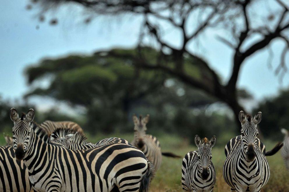 PHOTO: Zebra are seen at the Amboseli National Park in Kenya, June 22, 2018.