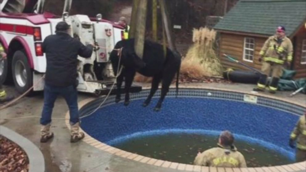 Firefighters Re-Moove Cow Stuck in Oklahoma City Swimming
