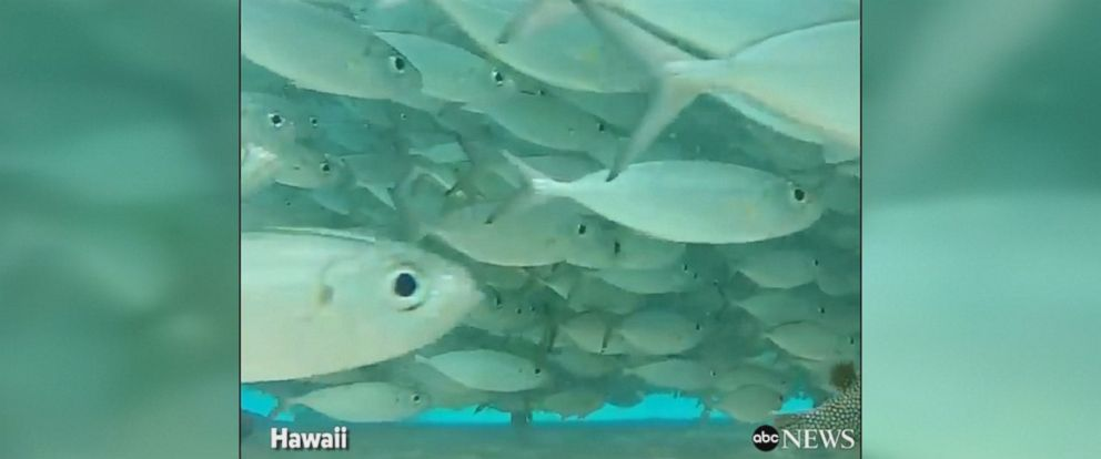 Stunning footage shows diver getting up close and personal with underwater life, swimming through a massive ball of fish in Hawaii.