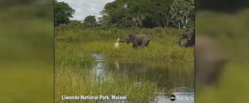 Crocodile emerges from the water and grabs an elephants trunk in the Liwonde National Park in Malawi. Fortunately, the elephant was able to escape the crocodiles mighty bite.