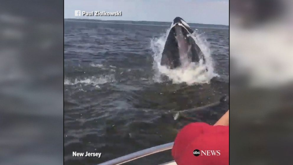 Video shows moment humpback whale breaches next to boat near