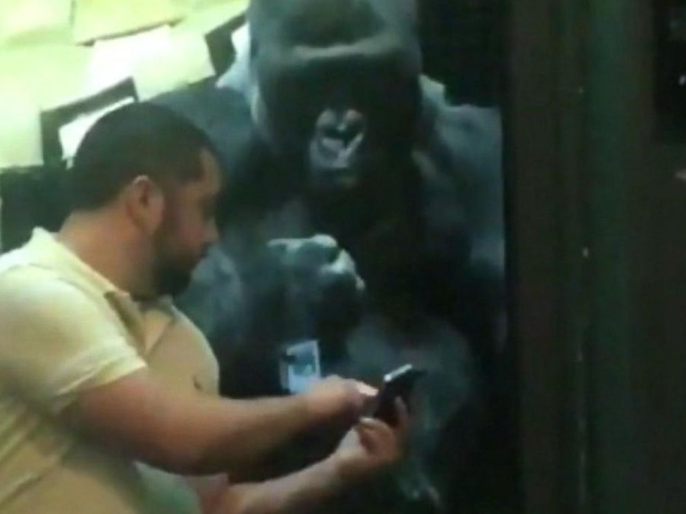 VIDEO: A cute moment at the Louisville Zoo as one of its gorillas seems to gesture for a man to swipe through photos on his phone.