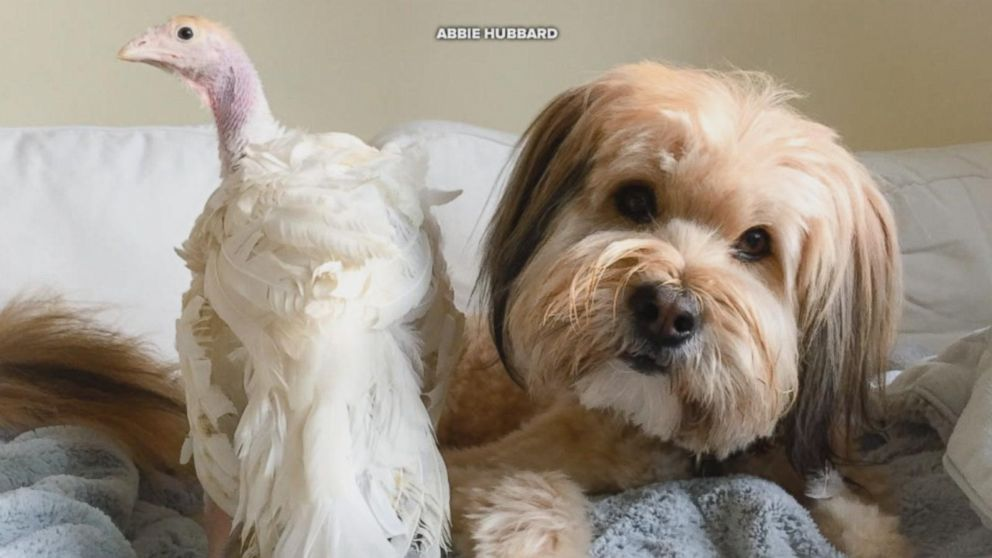 This rescue dog and rescue turkey are BFFs