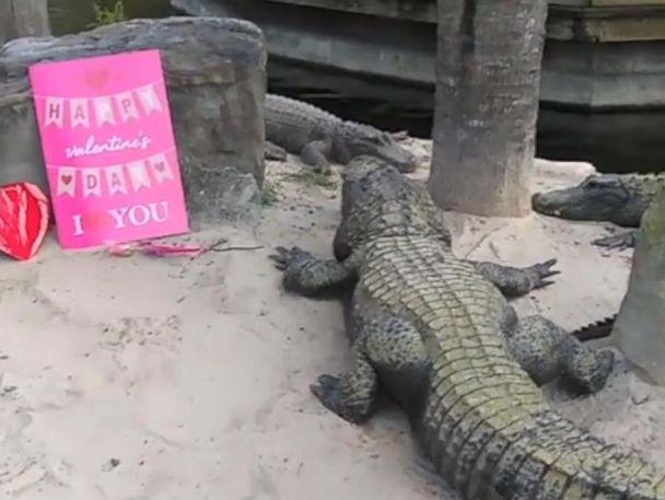 WATCH:  Gators get meaty treat for Valentine's Day