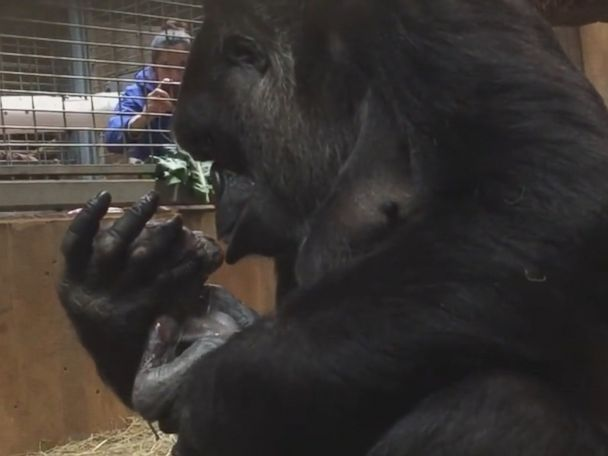 WATCH:  Mother gorilla kisses her newborn at the zoo