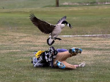 WATCH:  High school golfer attacked by goose in hilarious set of photos