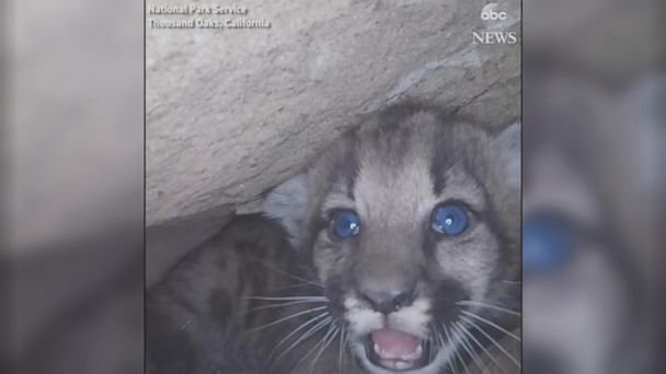 Mountain lion fatally struck trying to cross LA freeway