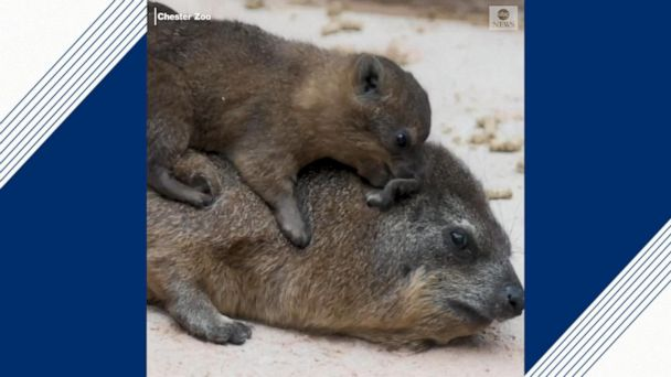 Hyrax pups born at Chester Zoo
