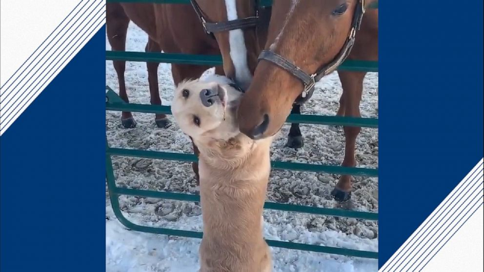 Dog gets attention from horses