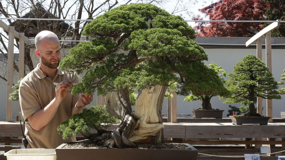 Meet The 26 Year Old Aspiring Bonsai Master Of Washington Dc Abc News
