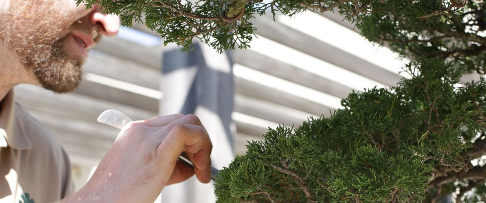 PHOTO: Aaron Hughes prunes a bonsai tree at the National Arboretum in Washington, DC.