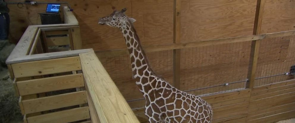 PHOTO: Millions have followed the pregnancy of April the giraffe via a live-stream feed at Animal Adventure Park.