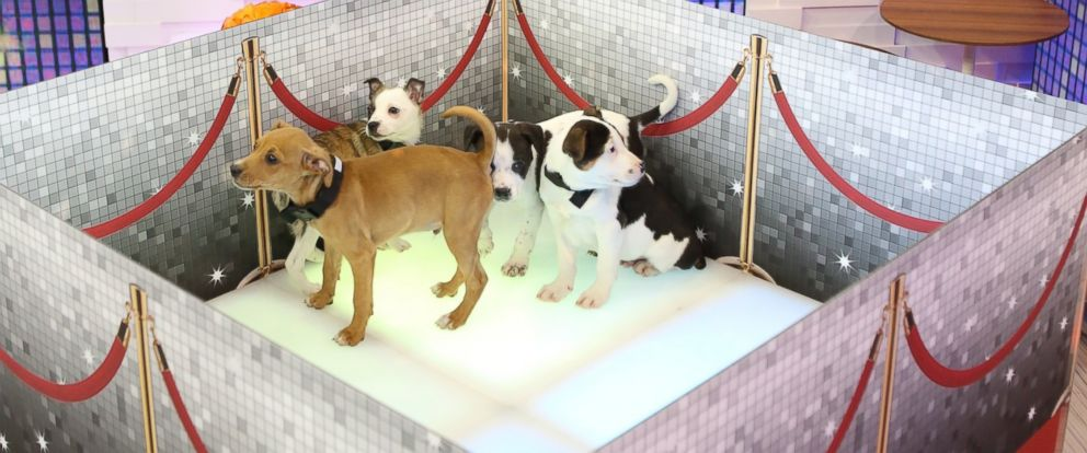 "PHOTO: ""Good Morning America"" celebrated National Puppy Day with puppies in its Times Square studio."