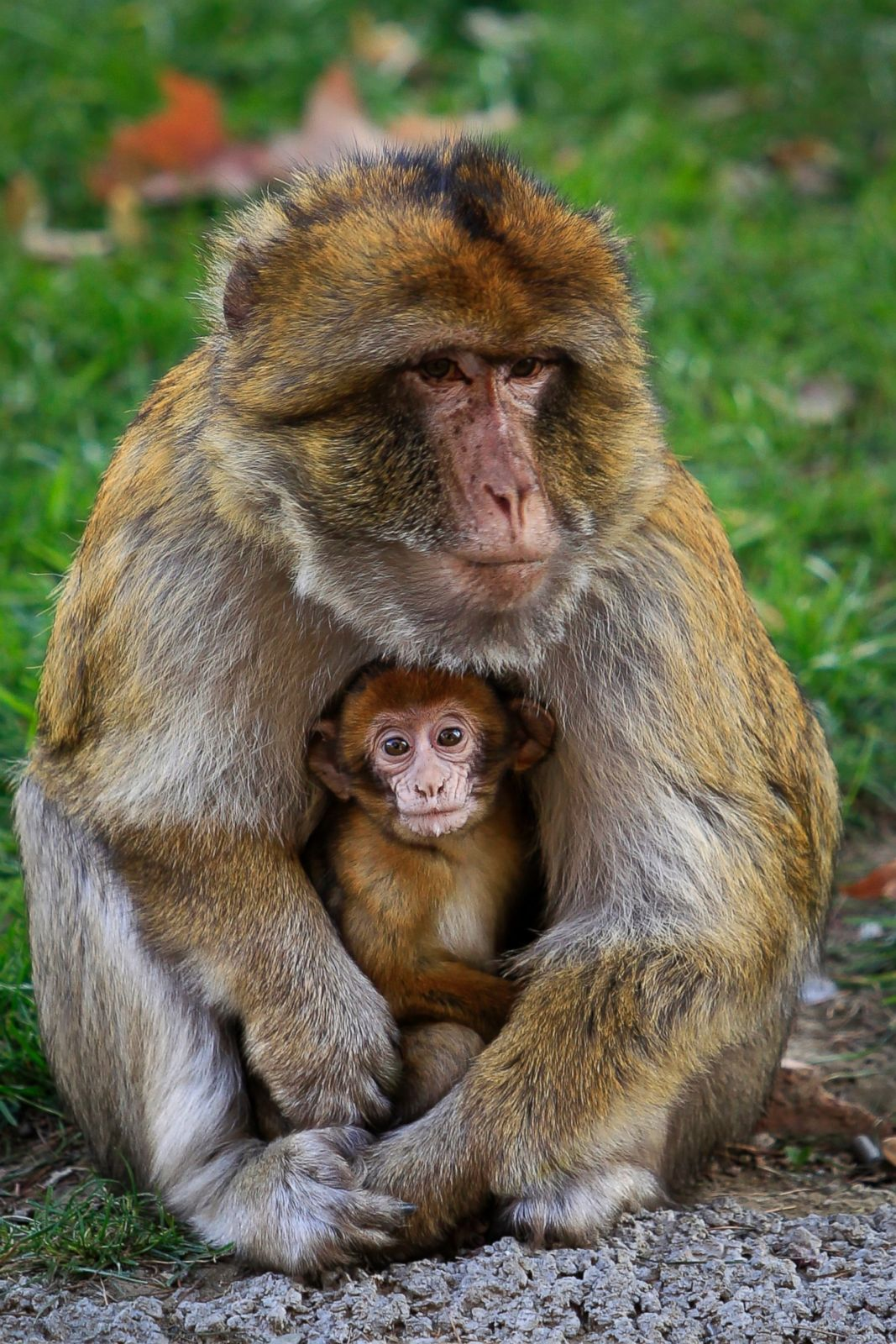 A Baby Macaque Monkey Snuggles With Its Mother Picture