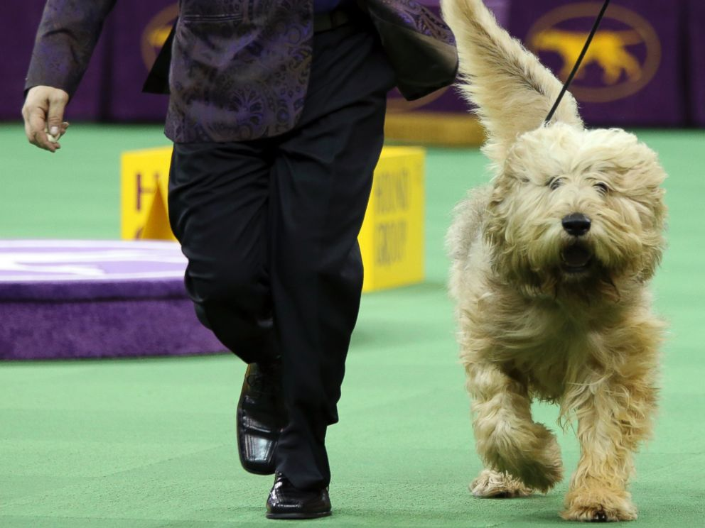 PHOTO:An otterhound is shown in the ring during the Hound group competition during the 140th Westminster Kennel Club dog show, Feb. 15, 2016, at Madison Square Garden in New York.