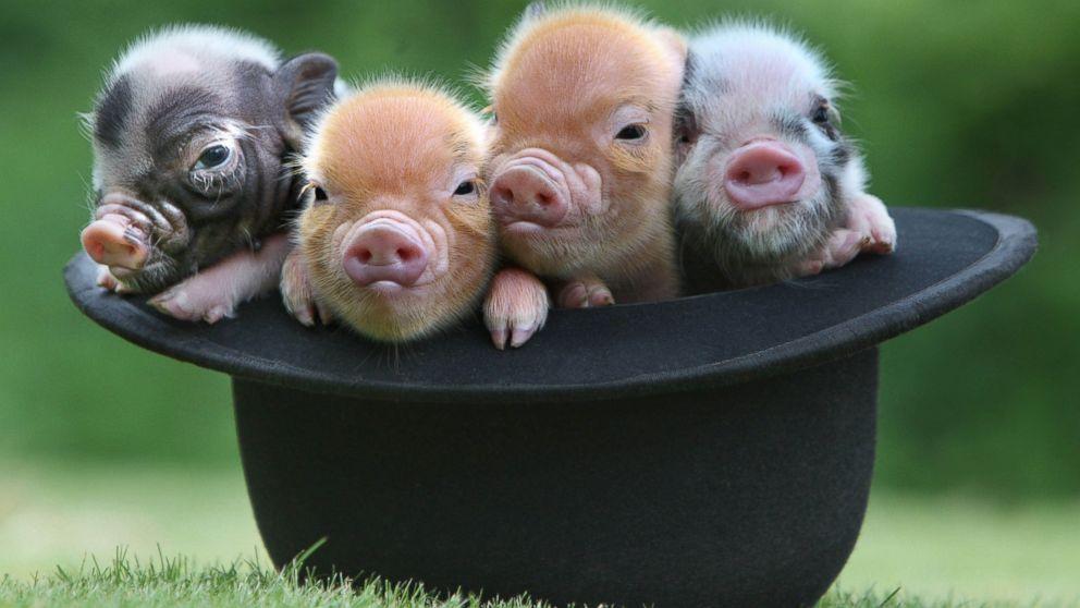 10 Most Adorable Micro Pig Photos Ever! Photos - ABC News