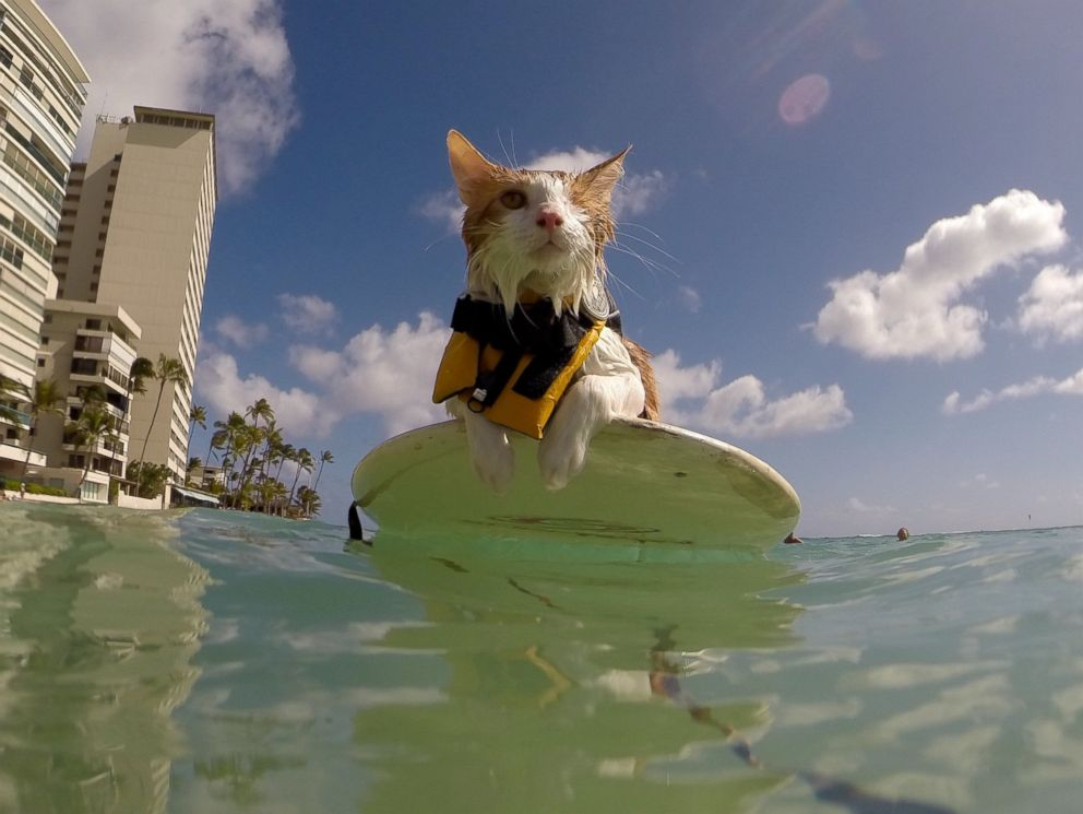 PHOTO: This adorable one-eyed cat from Hawaii spends its free time catching waves.