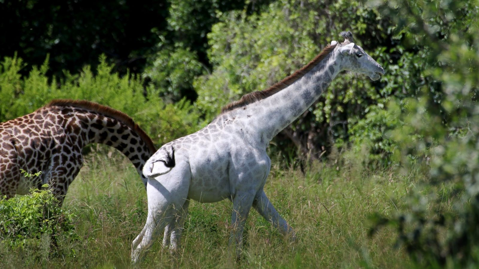 Where giraffes live: continents and countries, lifestyle features and interesting facts 41
