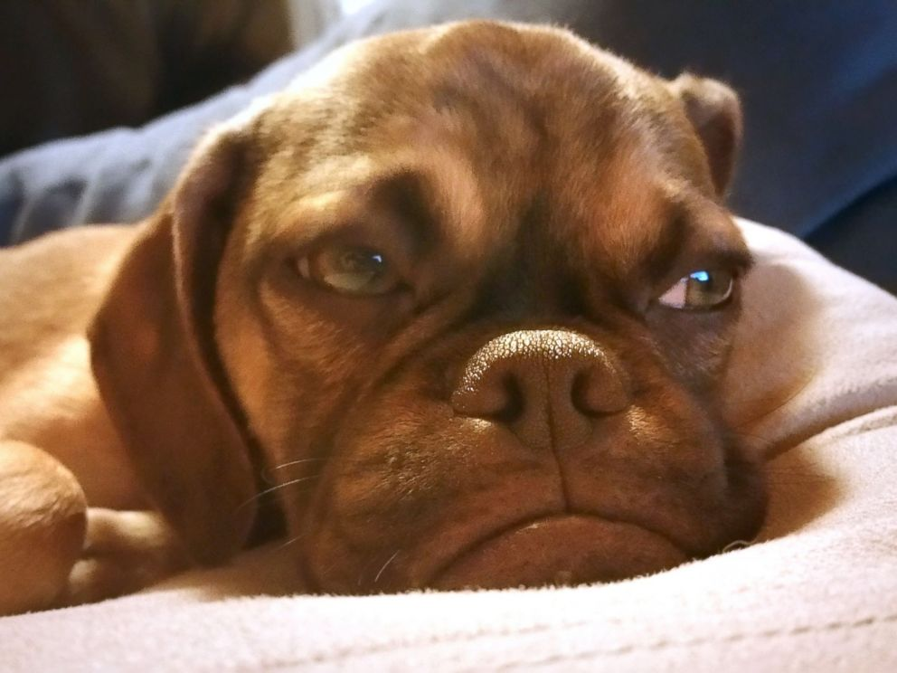 PHOTO: Earl, the very grumpy five-month-old puppy is shown in this photo. The peeved pup went viral when a picture of him sporting his best sullen expression was posted on Reddit and quickly gained more than two million views.