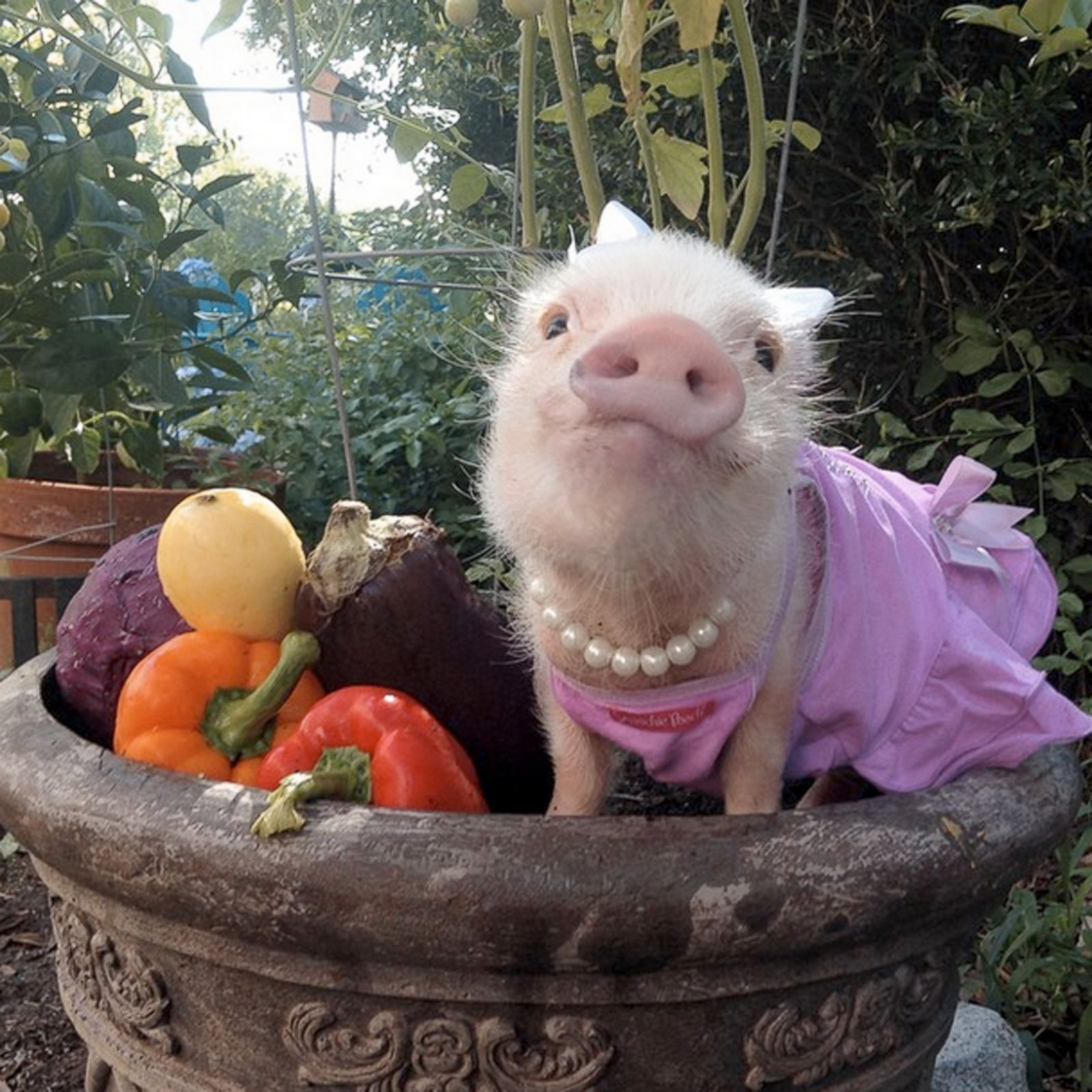 Cute Mini Pigs Play Dress-Up Photos | Image #5 - ABC News