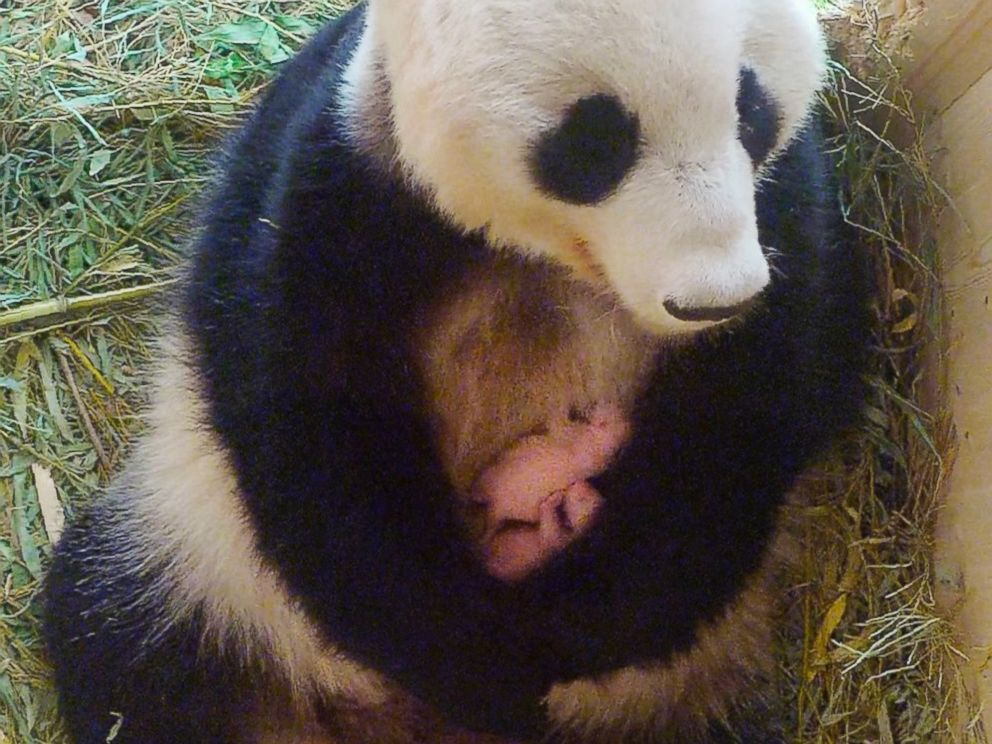 PHOTO: This handout picture taken on Aug. 15, 2016, by the Tiergarten Schonbrunn zoo in Vienna, shows a video grab of panda mother Yang Yang holding her twins.