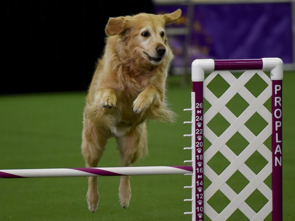 PHOTO:A Golden Retriever runs the agility course during the agility ring during the 3rd Annual Masters Agility Championship, Feb. 13, 2016, in New York, at the 140th Annual Westminster Kennel Club Dog Show.
