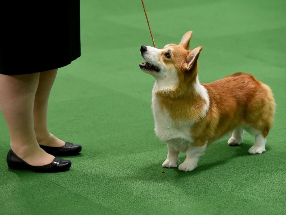 the cutest pups at the westminster kennel club dog show abc news