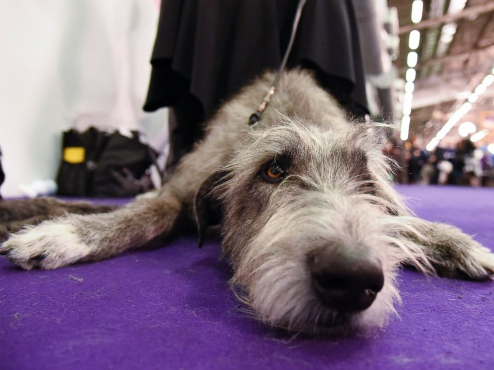 PHOTO:An Irish Wolfhound waits in the grooming area during the first day of competition at the Westminster Kennel Club 140 Annual Dog Show, Feb. 16, 2016, in New York.