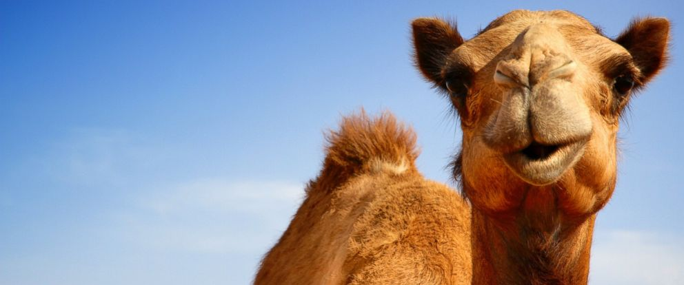 PHOTO: A camel is pictured in this stock photo.