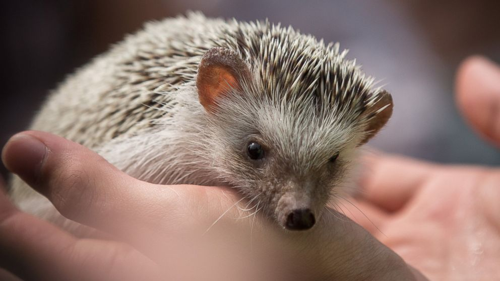 Hedgehogs Spike In Popularity As Pets Abc News