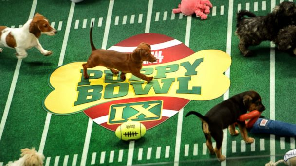 "PHOTO: Adoptable puppies play during the taping of Animal Planets ""Puppy Bowl IX"" program in New York, Nov. 11, 2012."