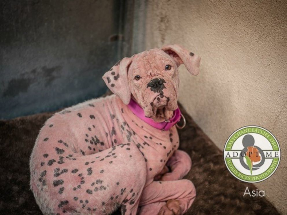 Rescue dog turned pink by skin infection gets second chance