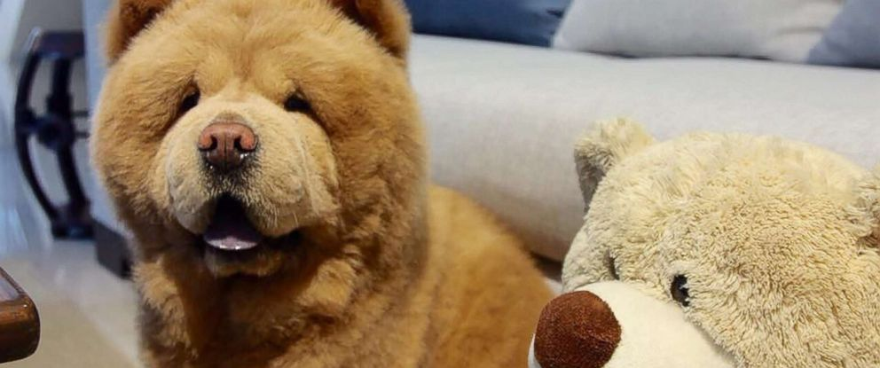 Good Bear Brown Adorable Dog - HT-chowder-the-dog-02-jpo-170712_12x5_992  Picture_421422  .jpg