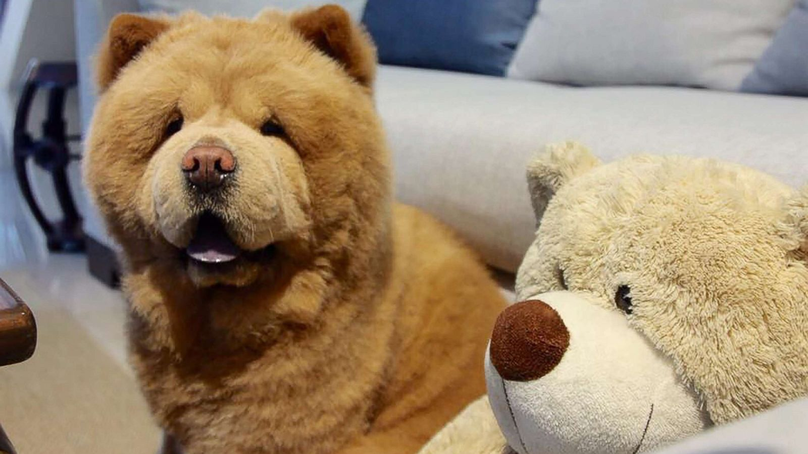 fluffy dog that resembles bear takes social media by storm abc news