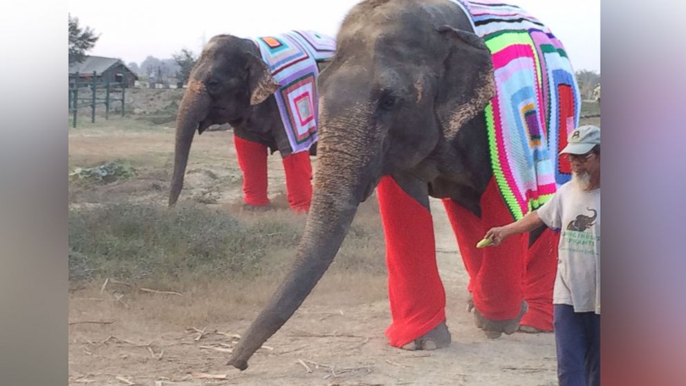 1f2d12541b49 Indian Elephants Sport Colorful Knit Sweaters - ABC News