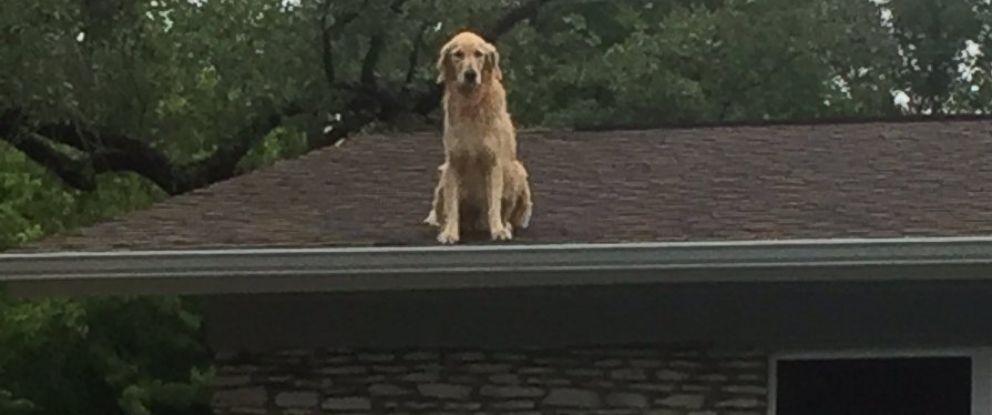 PHOTO: Dog named Huckleberry becomes star for hanging on owners roof in Austin, Texas.