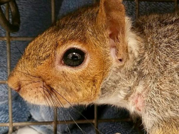 PHOTO: The Animal Rescue League helped save a squirrel that was found with what appeared to be a dog bone stuck around its neck.