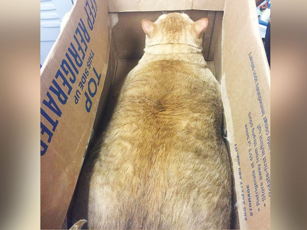 PHOTO: Symba the 35-pound cat is looking for a loving, fur-ever home in Washington, D.C.