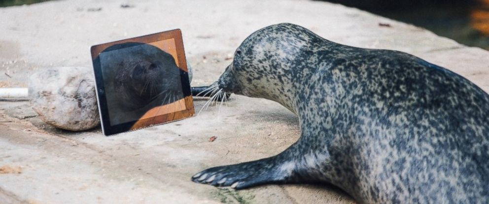 """PHOTO: Seals Sija and Babyface Video Chat each other with """"Seal Time"""" to keep in touch after being separated."""