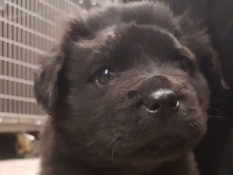 PHOTO: A 6-month-old puppy nicknamed Brody is recovering after it was found shot with 18 pellets from a BB gun in Rock Hill, South Carolina, according to doctors and police.