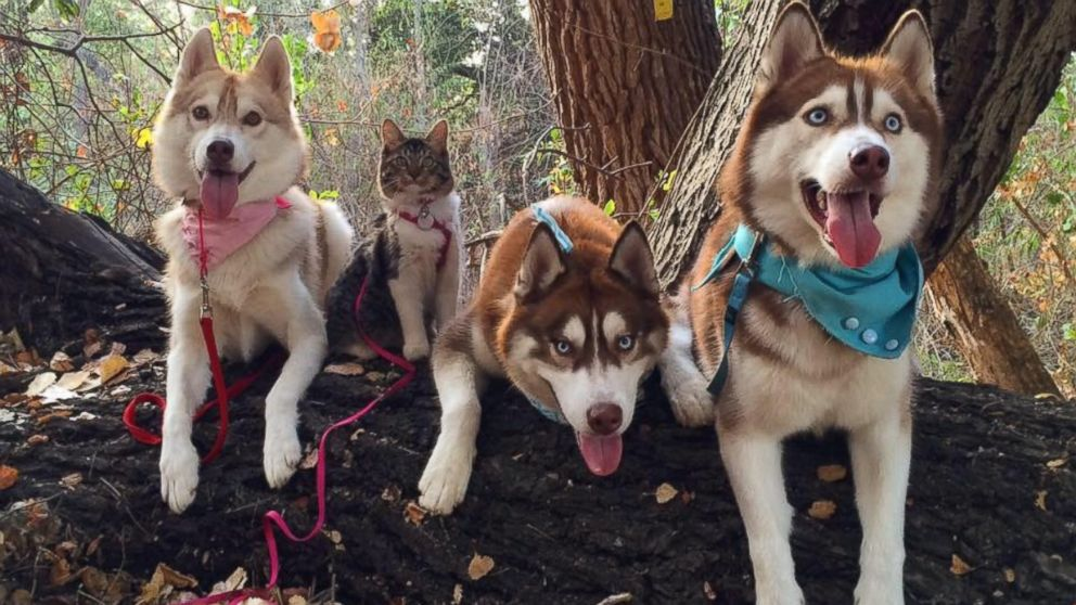 Image result for Three huskies saved this kitten's life – now she's part of their pack