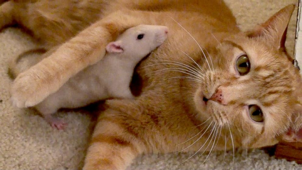 Cat and Rat's Adorable Friendship Shatters Stereotypes - ABC News